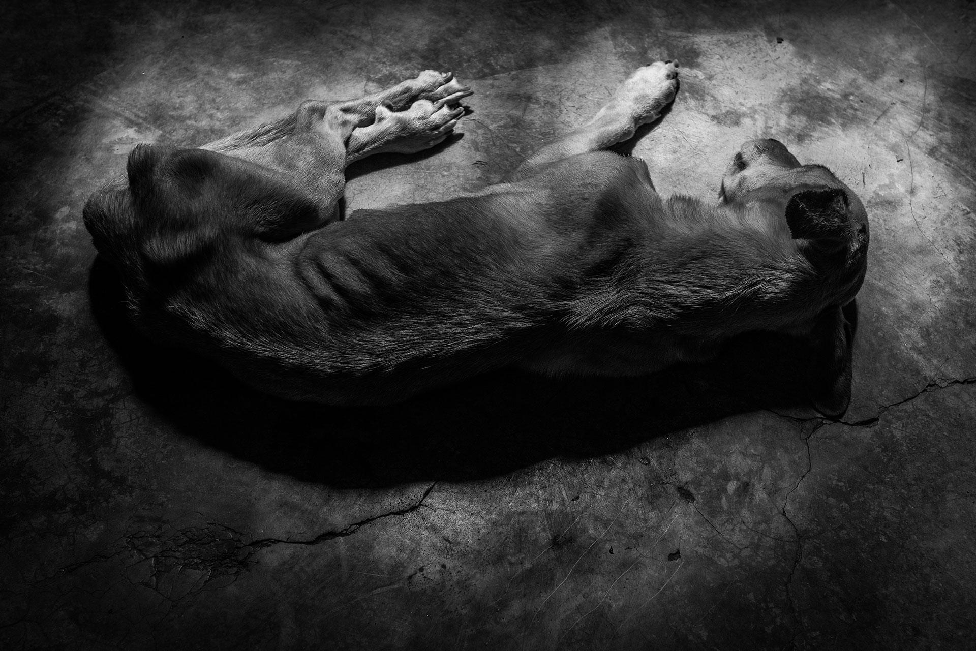 Un perro famélico duerme en el suelo. Según la encuesta ENCOVI, el 64% de los venezolanos perdió peso en 2017.