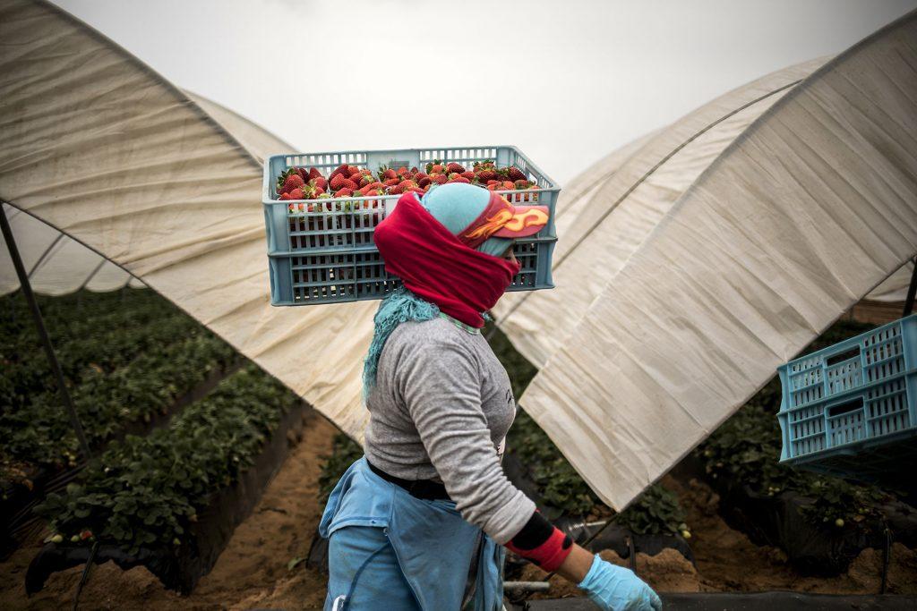 Cerca de 6.500 mujeres de origen marroquí, se encuentran en Huelva trabajando en el campo. Forman parte del contingente de trabajadoras contratadas en origen al inicio de la campaña para la recolección de la fresa y que no pueden regresar a su país por el cierre de la frontera con Marruecos. Para procurarles una continuidad de trabajo y alojamiento, la patronal de la Fresa y Frutos Rojos de Huelva, Interfresa, ha aprobado un plan especial para que puedan seguir trabajando, en caso de que la explotación agrícola en la que están contratadas cese la actividad por la crisis del coronavirus. También se ha barajado la posibilidad de que estas trabajadoras se trasladen a otras provincias españolas para continuar trabajando en otras explotaciones agrícolas. En la imagen, una temporera marroquí recoge fresas en un invernadero localizado en Lepe, Huelva.