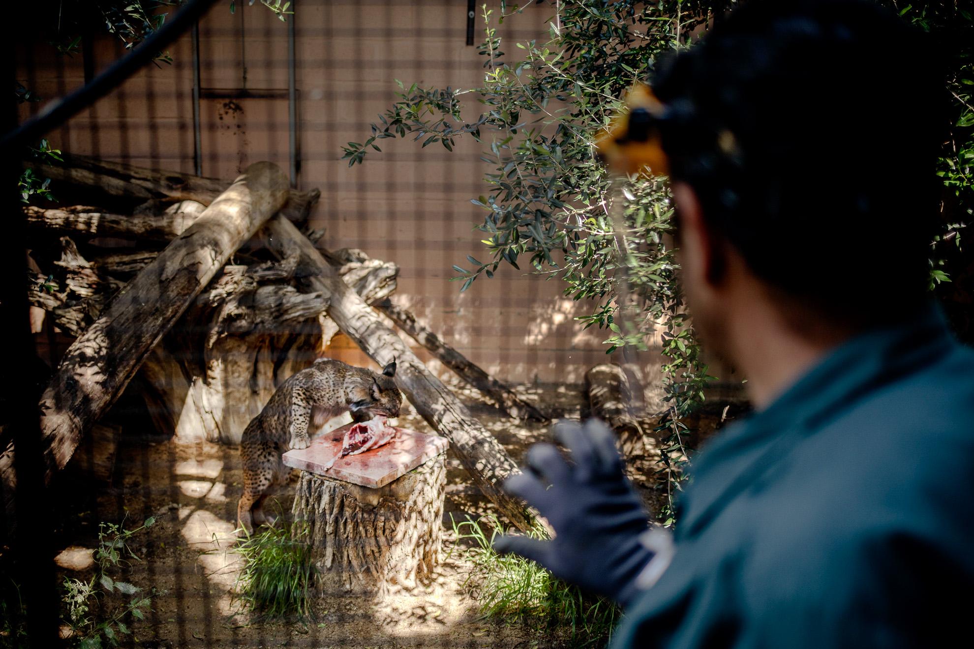 José María Aguilar, de 56 años y veterinario en el Zoo de Jerez, observa a Nabão comiendo, ya que en entre la comida hay un medicamento que el felino debe tomar. Nabão es un Lince Ibérico, nacido en 2016, que forma parte del programa de conservación de la especie que se lleva a cabo desde el Zoo: el Lince Ibérico, junto al Ibis Eremita, y otra treintena de especies, son recuperadas en el centro para su posterior reintroducción en la naturaleza. Aunque permanece cerrado al público por la pandemia la actividad continúa: todas las mañanas se reúne la plantilla para realizar una comprobación de posibles síntomas de COVID-19 entre los trabajadores, usan medidas de profilaxis con todos los animales, haciendo especial énfasis con felinos y primates, al ser estos los más propensos a contagiarse con la enfermedad; también siguen un estricto protocolo con la ropa de trabajo: solo es usada una jornada, luego se lava de manera industrial para su desinfección de posibles patógenos. Aún no está claro cuando volverá a abrir sus puertas al público, pero la recuperación de especies y el cuidado de los animales no cesa.