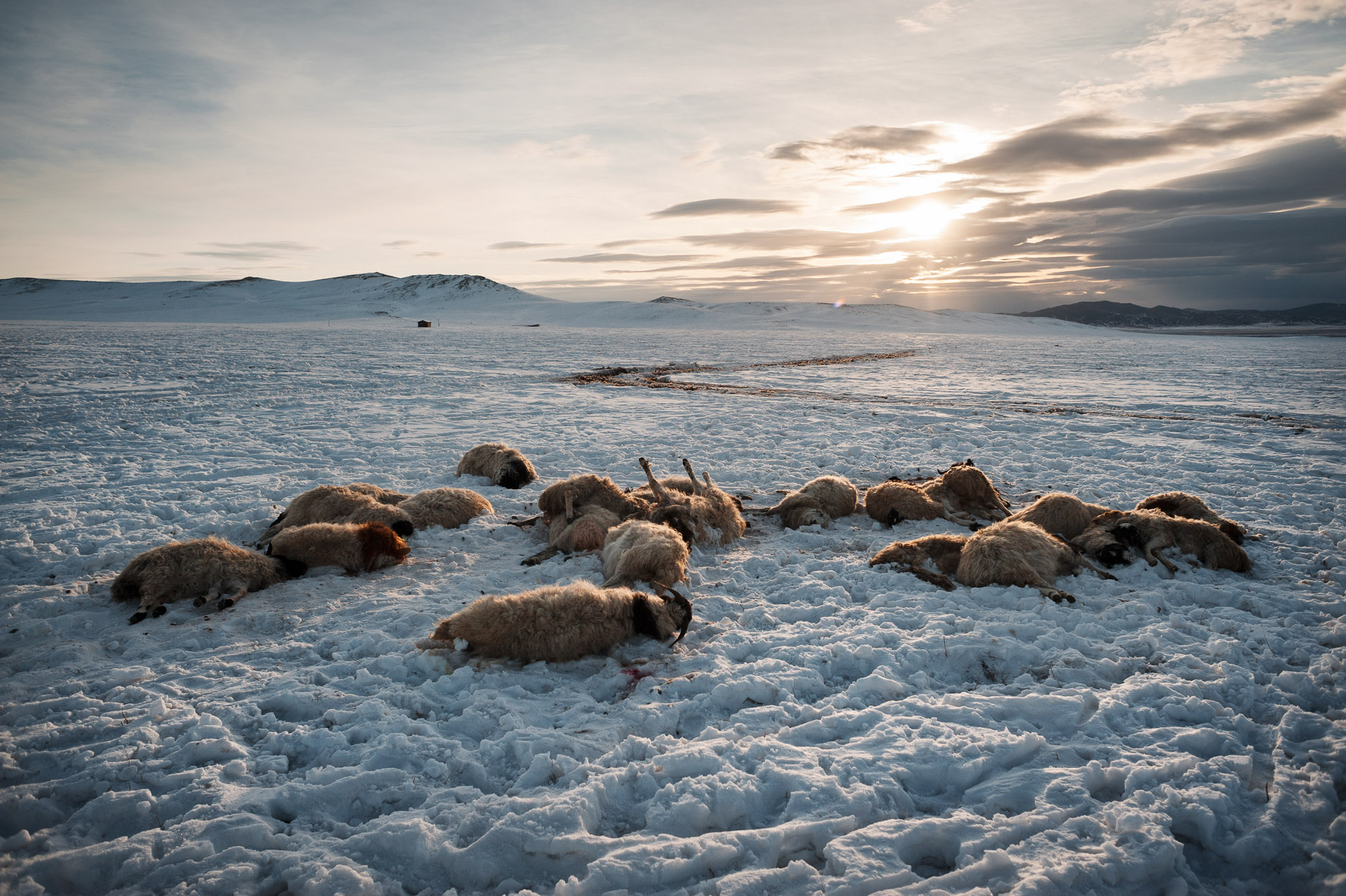 Mongolia. En la provincia de Arkhangai, a unos 30 kilómetros de la aldea de Ulziit, donde la familia Tsamba vive e intenta sobrevivir con su rebaño. La familia Tsamba ha perdido casi 20 ovejas (en la foto) en dos fríos días de invierno. En la provincia mongola de Arkhangai, la familia Tsamba vive al límite, luchando contra los duros inviernos junto a su rebaño de ovejas. Las severas condiciones invernales, conocidas como dzud, han sido responsables de la muerte de la mitad del rebaño de la familia, que llegó a tener 2.000 ovejas, en los últimos tres inviernos. Recientemente, en busca de pastos más cálidos, los Tsambas se trasladaron desde la provincia de Bulgan, en el norte, a esta región cercana a un pueblo del centro de Mongolia llamado Ulziit.