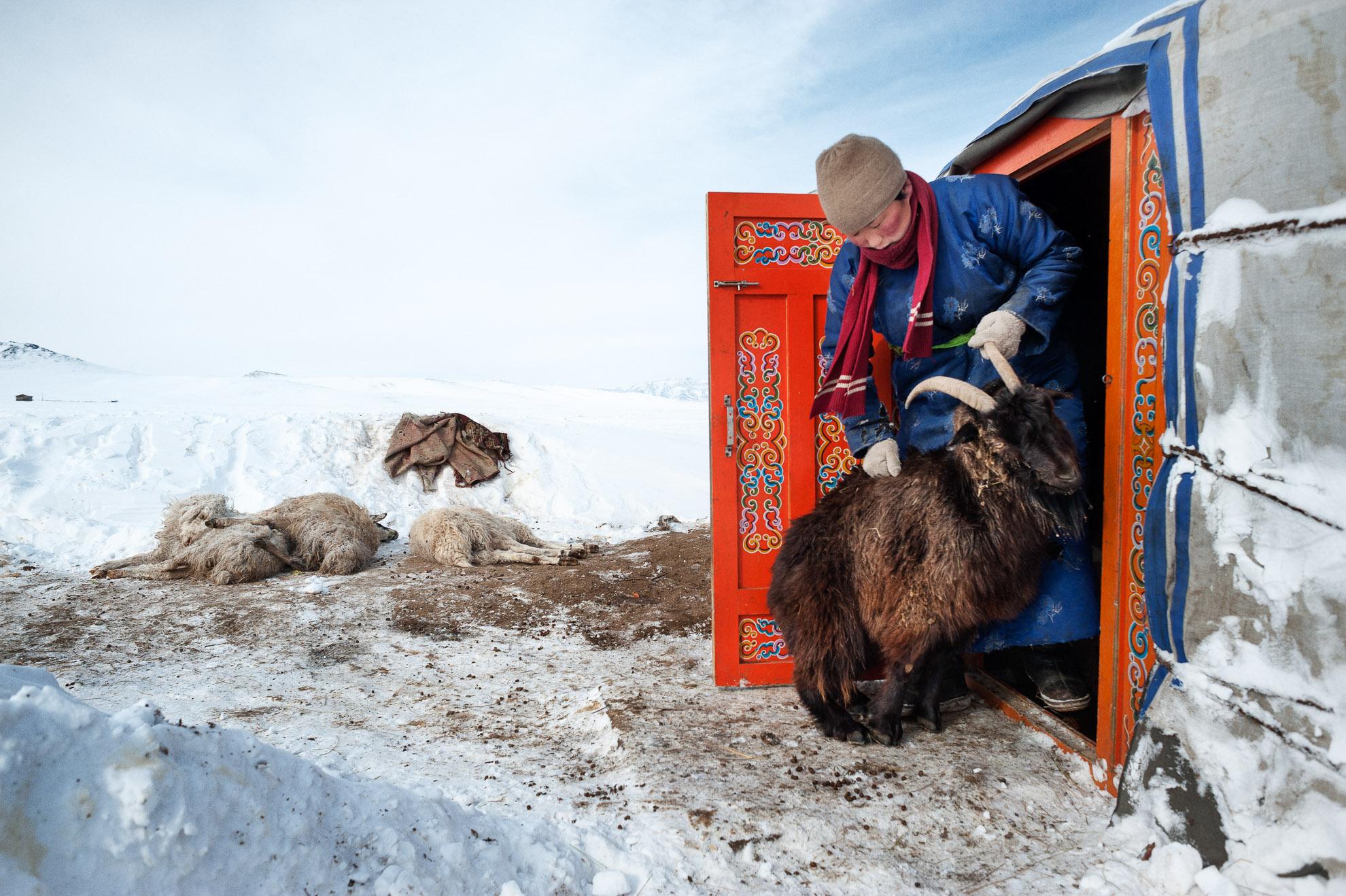 Mongolia, provincia de Arkhangay. Erdene Tuya, de 29 años, empuja desde su ger una oveja que quiere entrar, buscando un lugar más cálido. En el fondo, algunas ovejas muertas. En la provincia mongola de Arkhangai, la familia Tsamba vive al límite, luchando contra los duros inviernos junto a su rebaño de ovejas. Las severas condiciones invernales, conocidas como dzud, han sido las responsables de la muerte de la mitad del rebaño de la familia, que llegó a tener 2.000 ovejas, en los últimos tres inviernos. Recientemente, en busca de pastos más cálidos, los Tsambas se trasladaron desde la provincia de Bulgan, en el norte, a esta región cercana a un pueblo del centro de Mongolia llamado Ulziit.