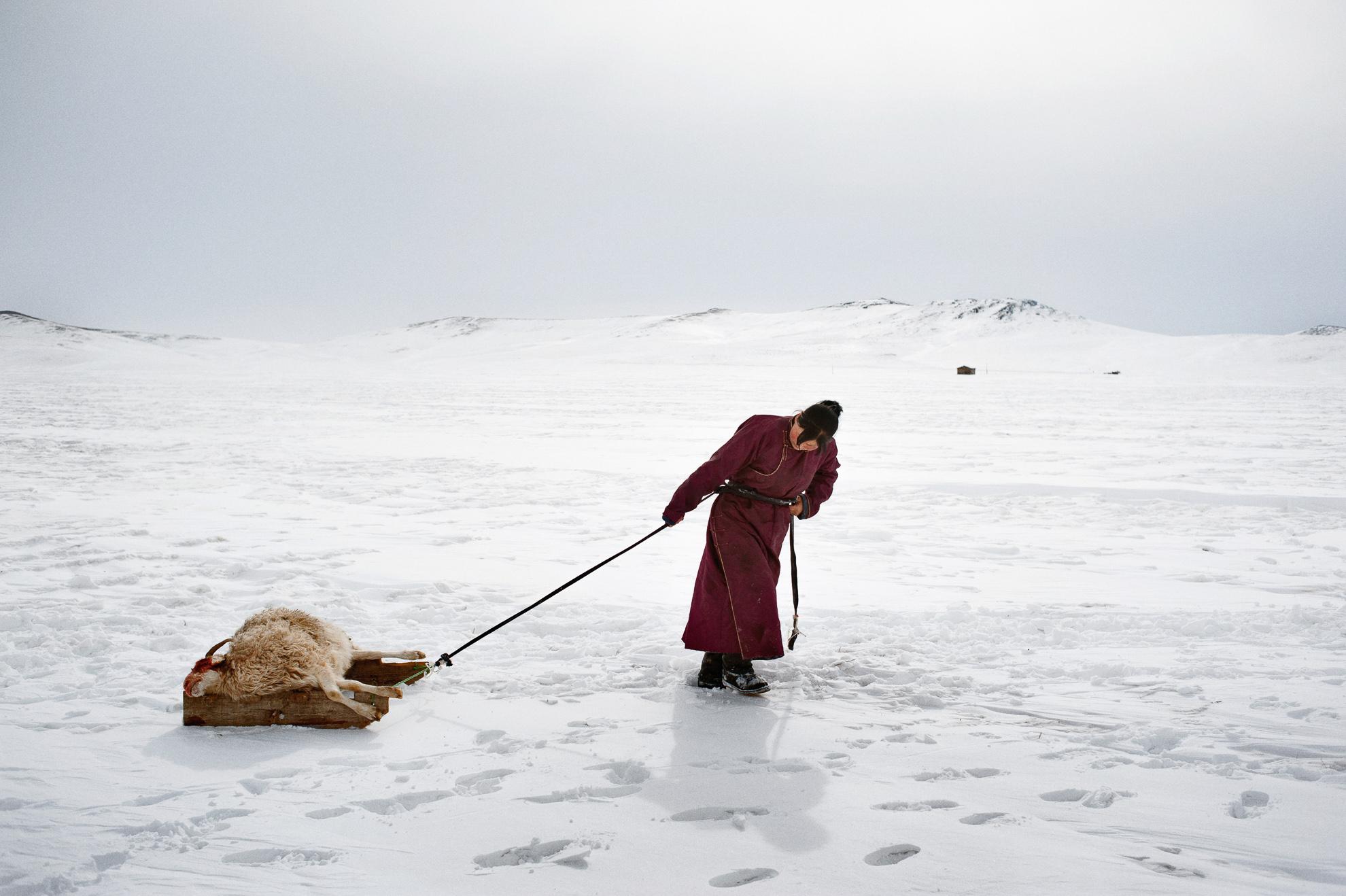 Mongolia, provincia de Arkhangay. Erdene Tuya, de 29 años, arrastra una oveja perdida por el dzud hasta un pequeño cementerio cercano a su yurta (ger). En la provincia mongola de Arkhangai, la familia Tsamba vive al límite, luchando contra los duros inviernos junto a su rebaño de ovejas. Las severas condiciones invernales, conocidas como dzud, han sido responsables de la muerte de la mitad del rebaño de la familia, que llegó a tener 2.000 ovejas, en los últimos tres inviernos. Recientemente, en busca de pastos más cálidos, los Tsambas se trasladaron desde la provincia de Bulgan, en el norte, a esta región cercana a un pueblo del centro de Mongolia llamado Ulziit.