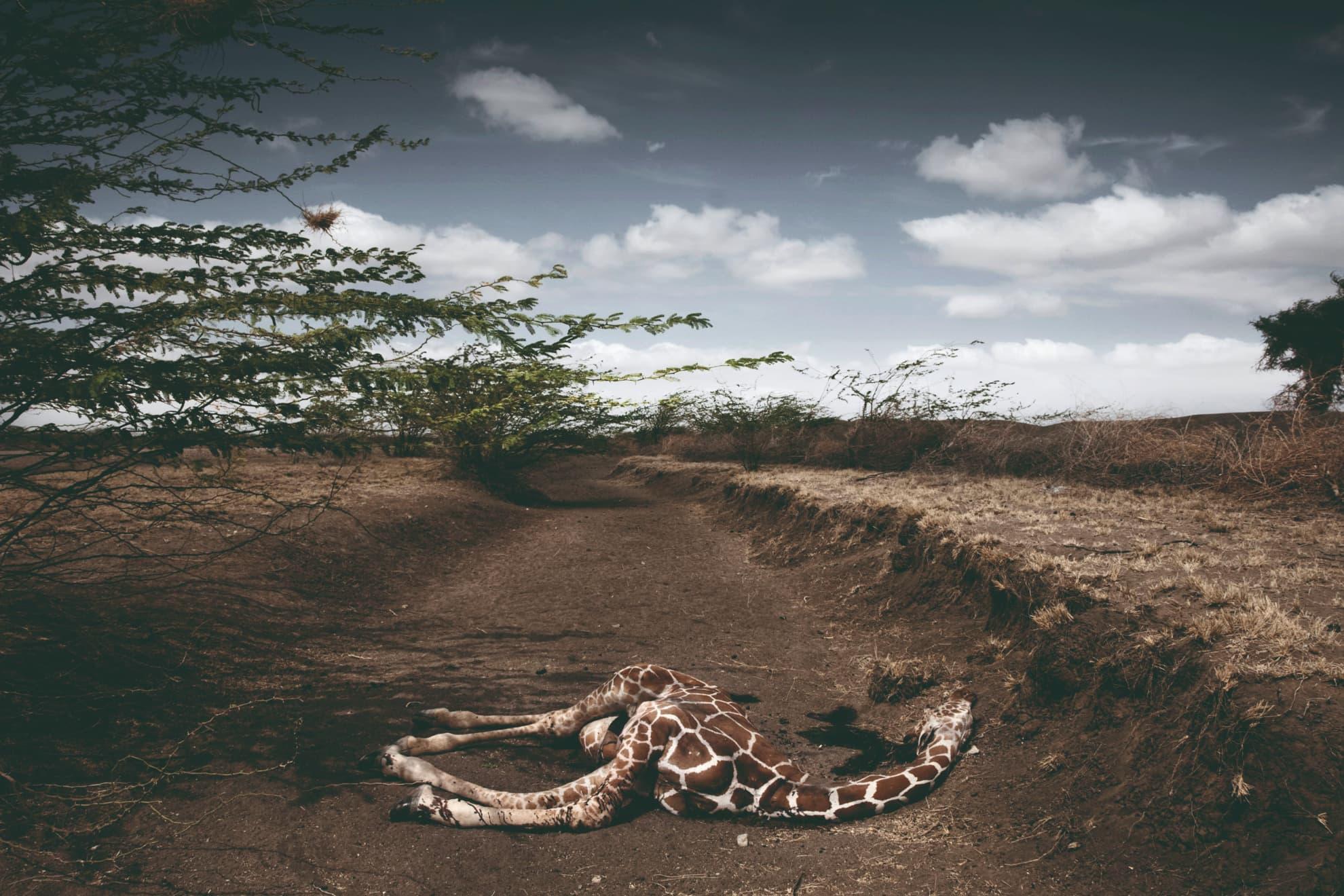 En la imagen, Jirafa muerta a causa de la sequía en la zona de Wajir, en la provincia Nororiental de Kenia. Octubre de 2009.