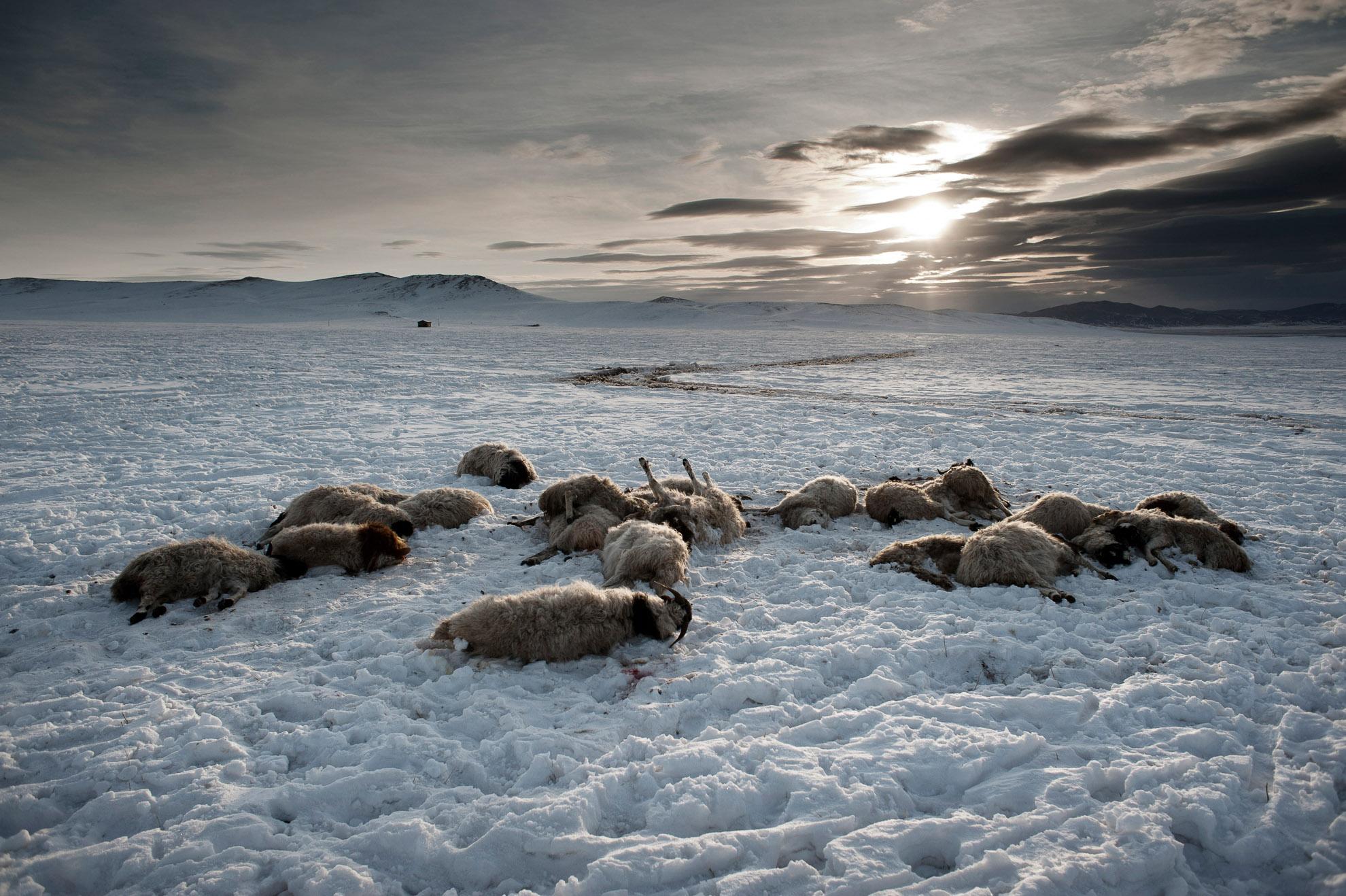 En la provincia de Arkhangai, a unos 32 km. del pueblo de Ulziit, donde vive la familia Tsamba intentando sobrevivir con su rebaño. La familia Tsamba ha perdido cerca de 20 ovejas (en la foto) en dos fríos días de invierno. En la provincia mongola de Arkhangai, la familia Tsamba vive en condiciones extremas, superando con dificultad duros inviernos junto a su rebaño de ovejas.