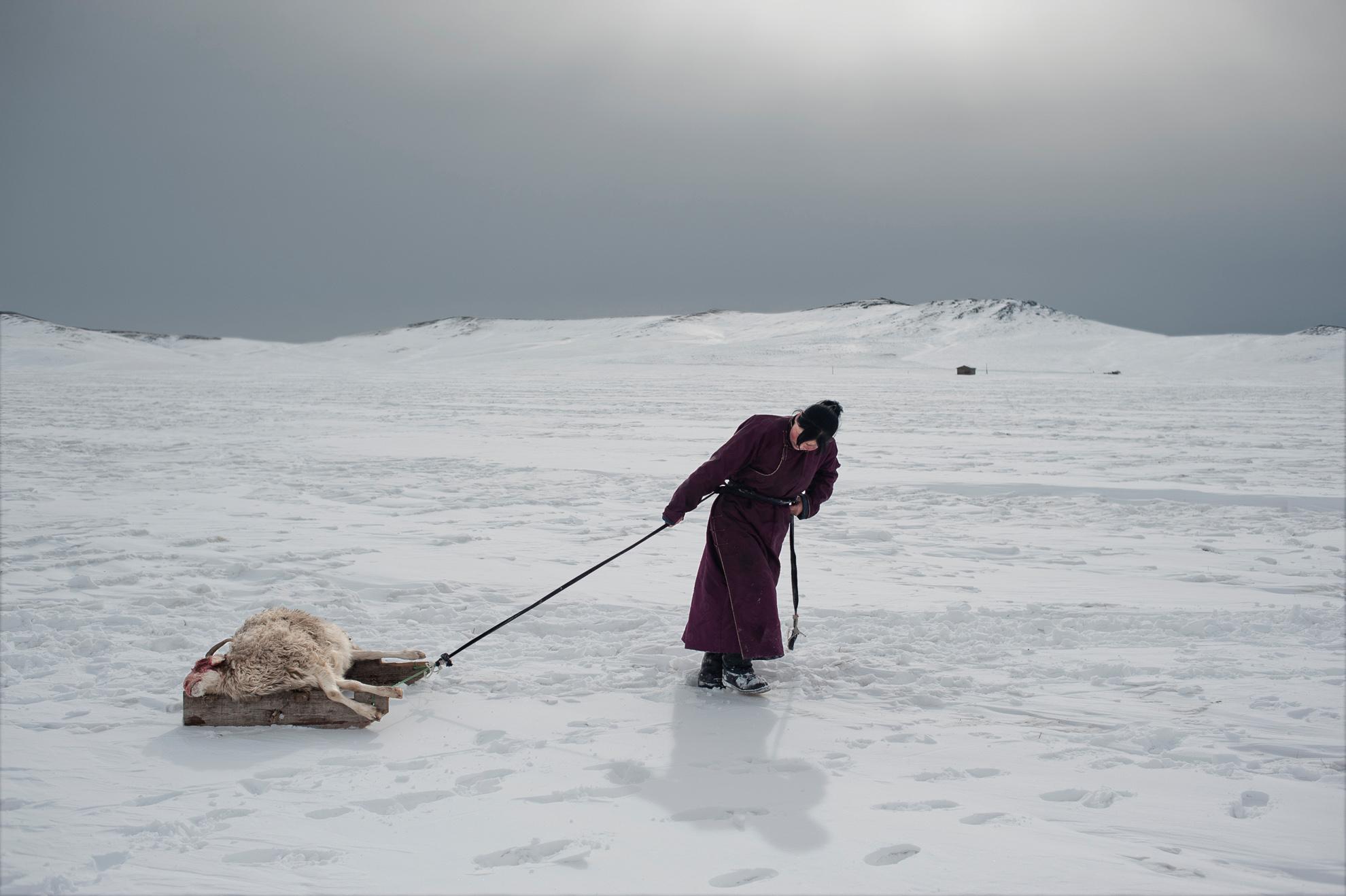 En la foto, Erdene Tuya, de 29 años, arrastra una oveja que se ha cobrado el dzud hacia un pequeño cementerio cerca de su gher.