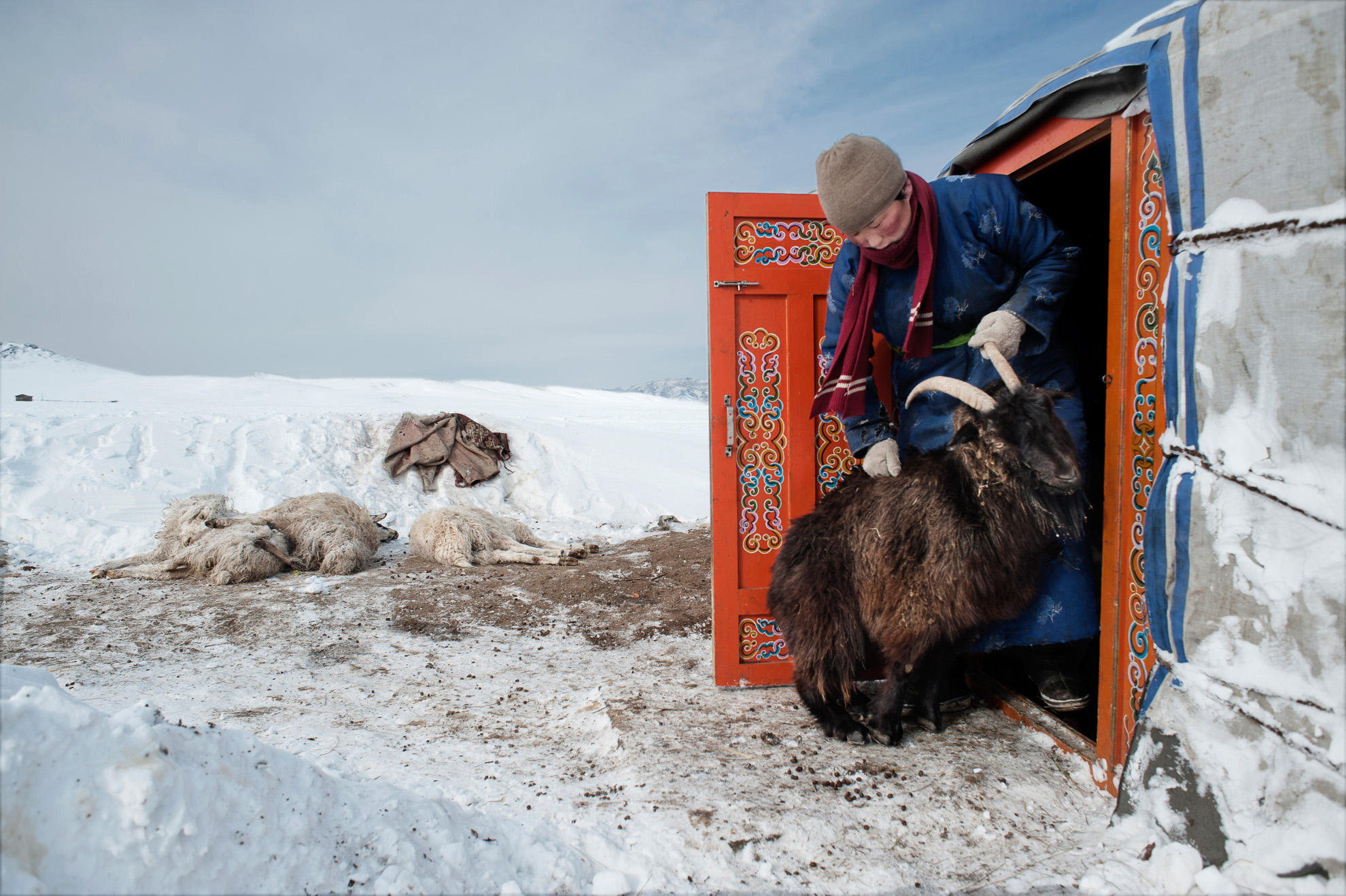 Erdene Tuya empujando fuera de su gher a un carnero que intentaba entrar buscando un lugar más cálido. Al fondo, algunas ovejas muertas.